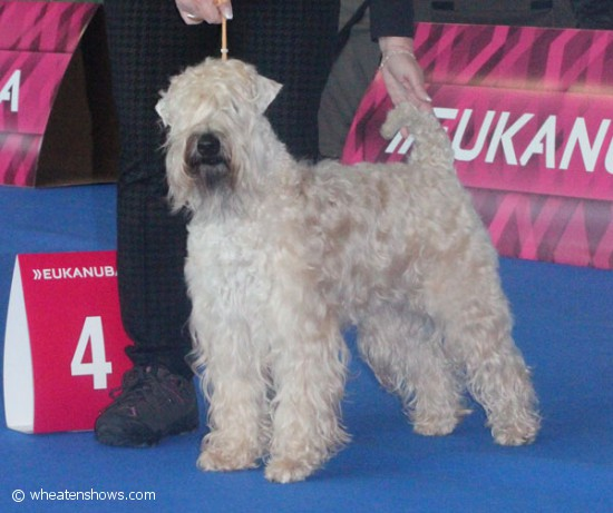 Wheaten-Vagabond-Catch-Me-If-You-Can