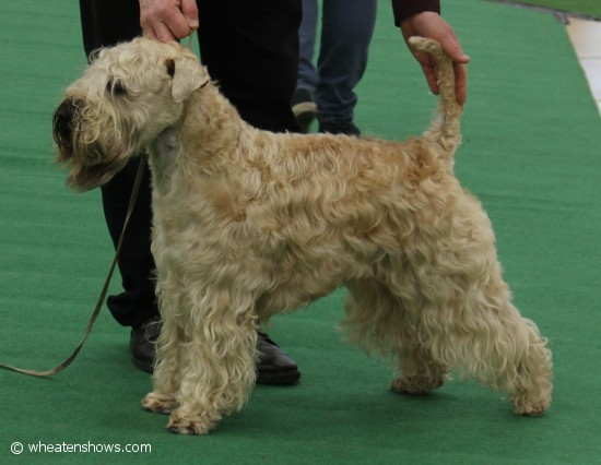 Wheaten Islands Tricky Lester_5572